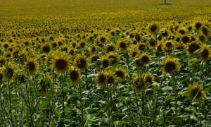 immer wieder riesige Sonnenblumengefelder